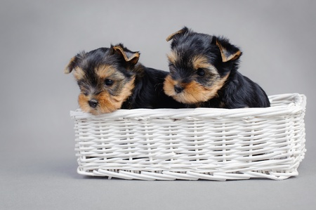 cynology:  Two Yorkshire terrier dog puppies portraitin a white basket