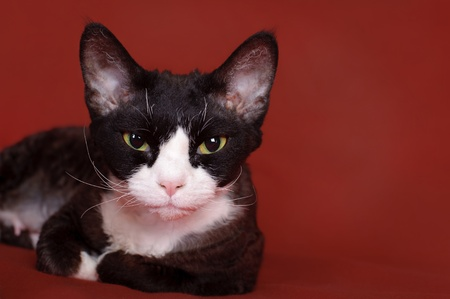 devon: Devon Rex cat Stock Photo