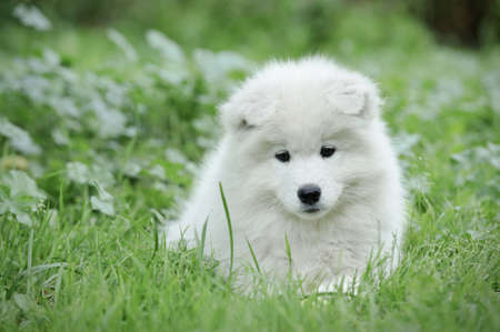 herding dog: Samoyed puppy portrait portrait in garden