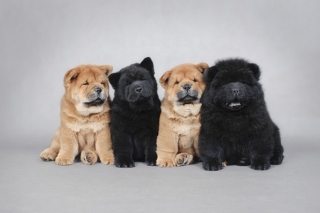 bred: Four little Chow chow  puppies portrait at grey background