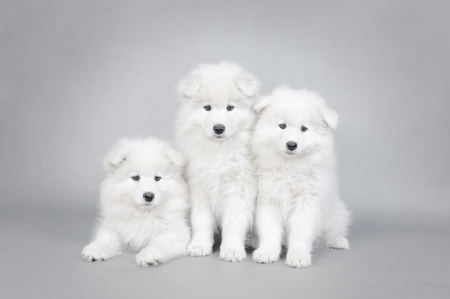 cynology: Three little Samoyed  puppies portrait at grey background Stock Photo