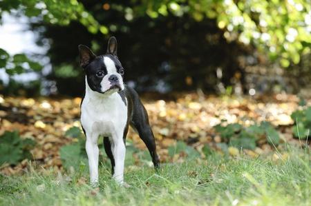 boston terrier: Boston terrier portrait in the garden Stock Photo