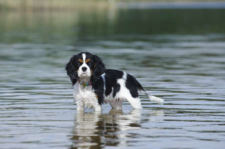 Cavalier king charles spaniel in lake