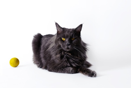 Black  Maine Coon cat Stock Photo - 15437201