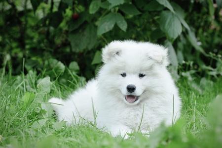 Samoyed puppy portrait portrait in garden photo