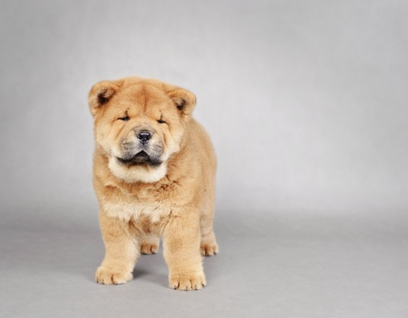 chow: Chow chow  puppy portrait at grey background