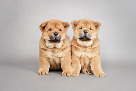 cynology: Two little Chow chow  puppies portrait at grey background Stock Photo