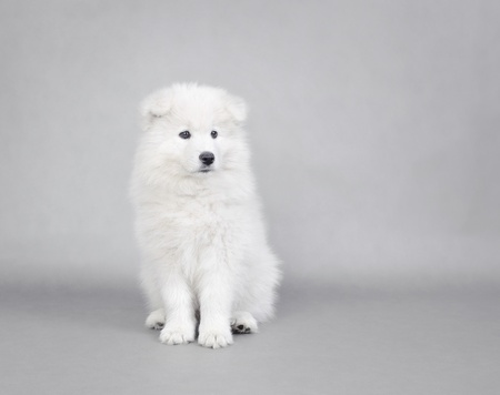 cynology: Little Samoyed  puppy portrait at grey background