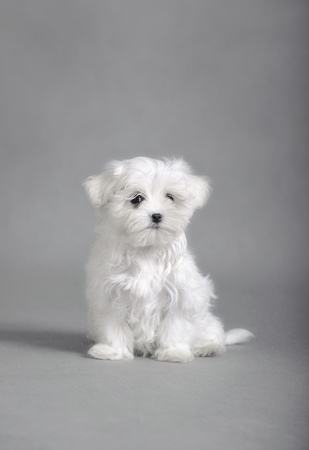 Maltese dog puppy photo