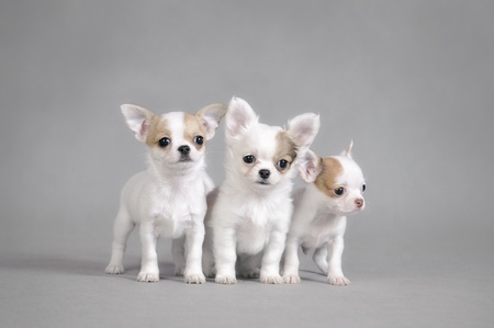cynology: Chihuahua puppies portrait
