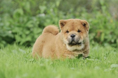 Llittle Chow chow  puppy portrait in garden