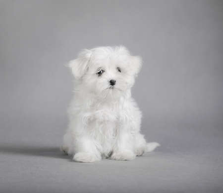 maltese dog: Maltese dog puppy Stock Photo