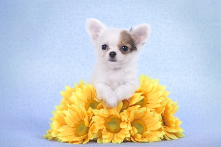 cynology: Chihuahua puppy portrait with yellow flowers
