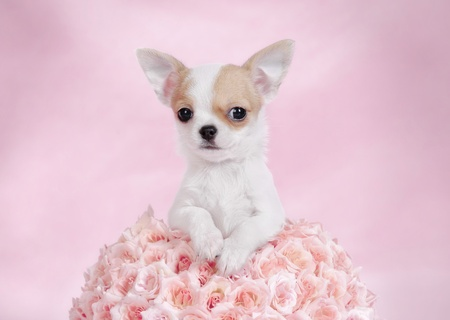 cynology: Chihuahua puppy portrait with pink roses  Stock Photo