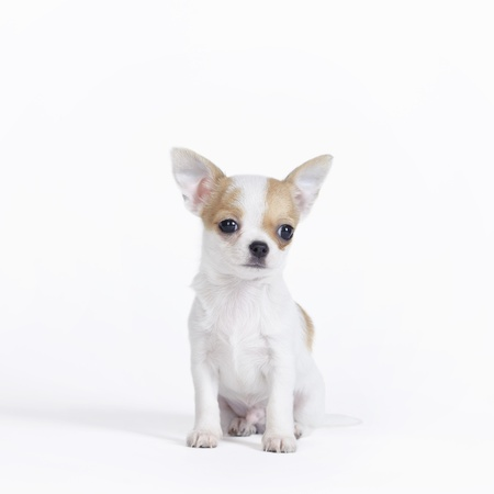 cynology: Chihuahua puppy portrait Stock Photo