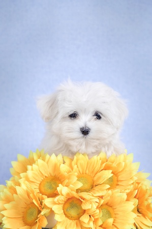 cynology: Maltese  puppy portrait with yellow flowers Stock Photo
