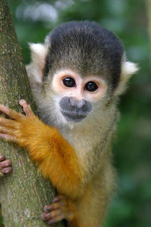 Squirrel monkey Stock Photo - 216367