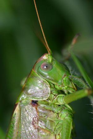 Green bushcricket photo