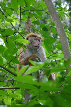 macaque: Toque macaque