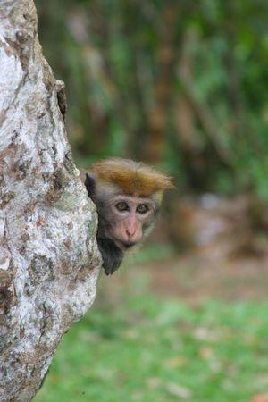 macaque: Macaque de toque Banque d'images