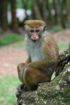 toque: Toque macaque