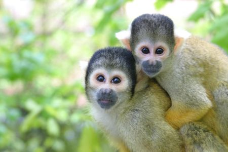 monkies: Mother and  squirrelmonkey