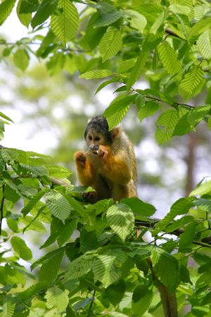 treetops: Squirrel monkey in the treetops