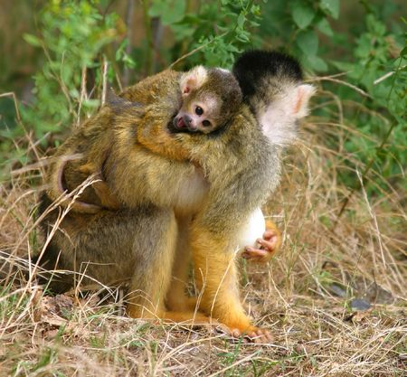 monkies: Mother squirrelmonkey with