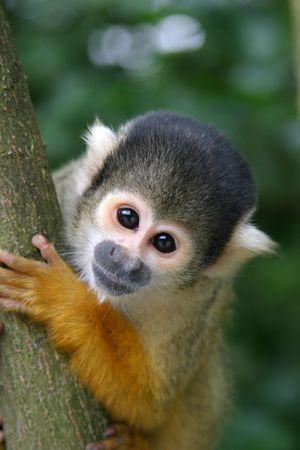 Curious little squirrel monkey