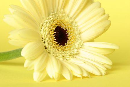 Yellow gerbera on yellow background