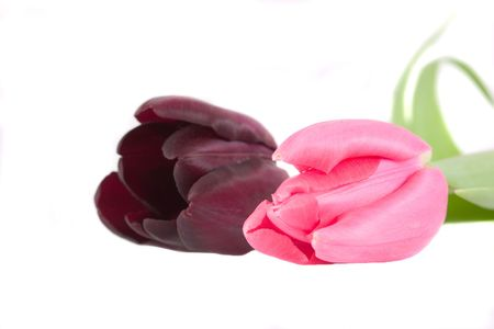 Two tulips on white background photo