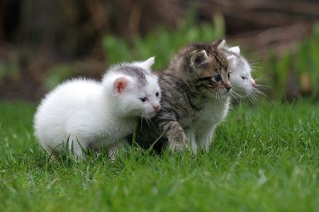 Three little kittens sitting outside in the grass (focus is on middle cat) Stock Photo - 380925