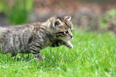 Little kitten walking through the tall grass