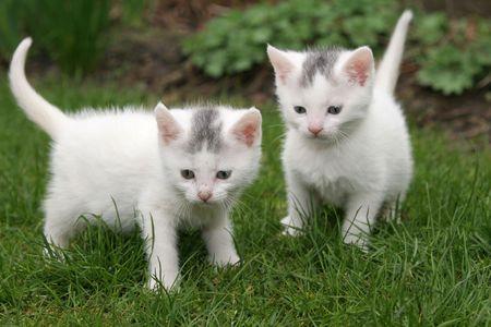 Two white kittens (focus is on the kitten on the left)