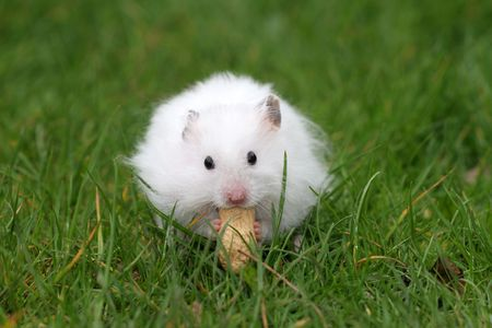 hamsters: Little white hamster eating a peanut with both hands