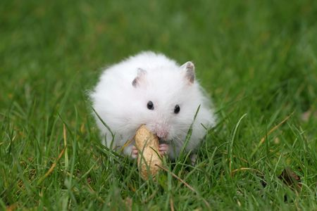 hamsters: White hamster eating a peanut while sitting outside in the grass