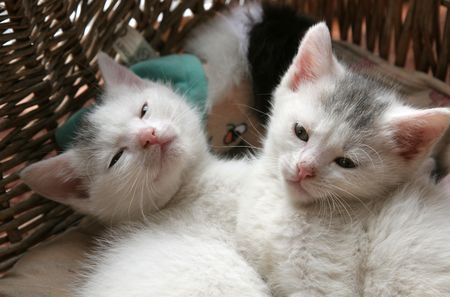 Two small young kittens lying close together in their basket Stock Photo - 389030