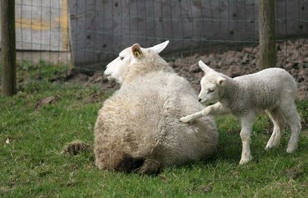 urging: Little lamb encouraging its mom to getup