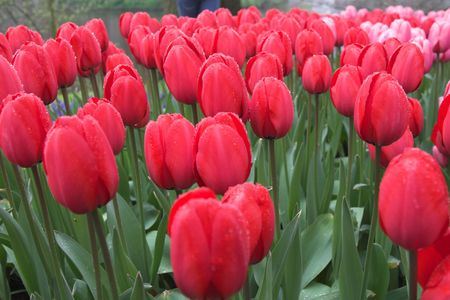 Beautiful red tulips in the rain covered in drops (streaks in the background is rain falling down) Stock Photo - 432548