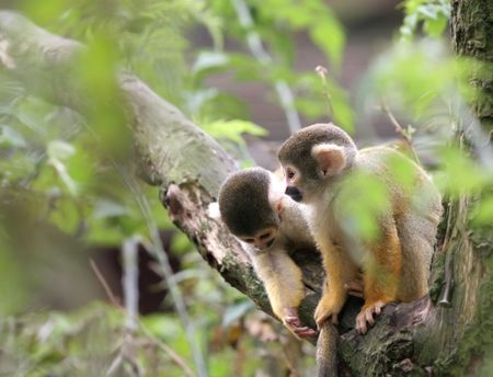 monkies: Two young squirrel monkey out looking for trouble