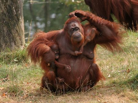monkies: Family affairs, mother orang utan trying to keep her two  together Stock Photo