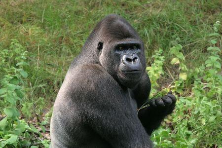 menacing: Big gorilla looking menacing at the camera