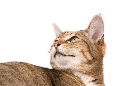Attentive cat Stock Photo - 524745