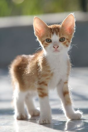 Adorable curious kitten standing and looking into the camera (shallow DOF) photo