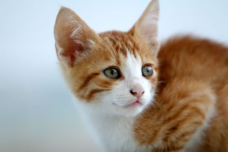 Beautiful red kitten looking attentive