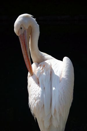 Pelican standing, at the sunlight Stock Photo - 240173