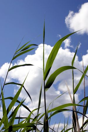 Transparent reeds in the background of clear summer sky- sense of summer and freedom