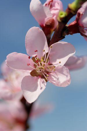 cherry blossoms against blue sky, close up