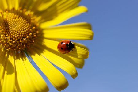 daisy with ladybug on petal Stock Photo