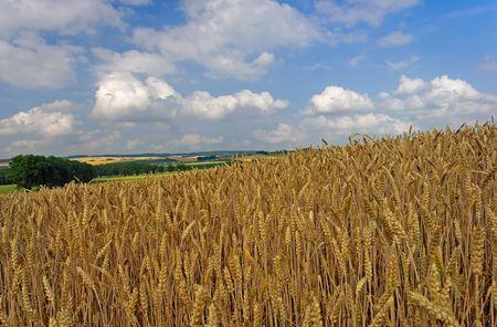 wheatfield: wheatfield before harvest with sky Stock Photo